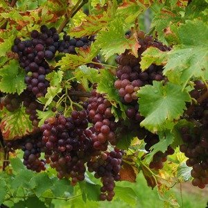 The Vitis vinifera - Red grape plant - Organic