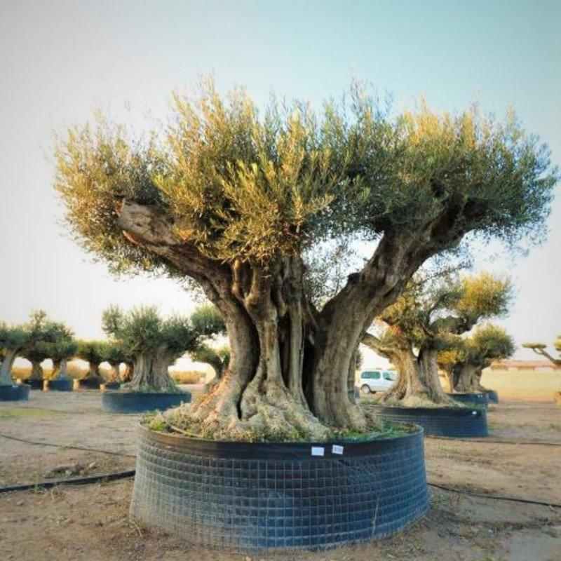Buy Olea Europea Olive Tree Hardy 190 250cm High Trunk