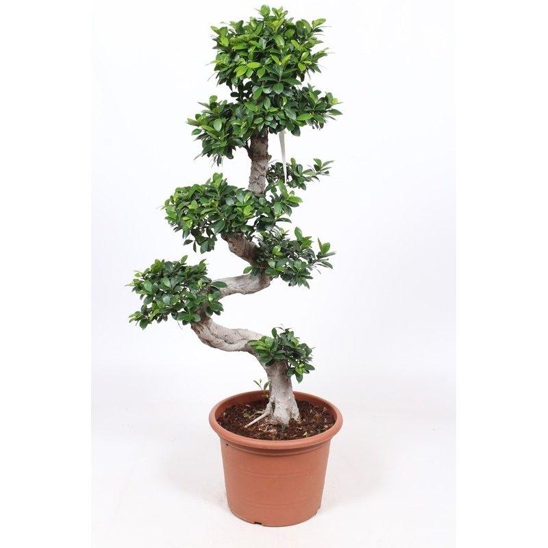 Buy Ficus Microcarpa Ginseng Bonsai 290 300cm
