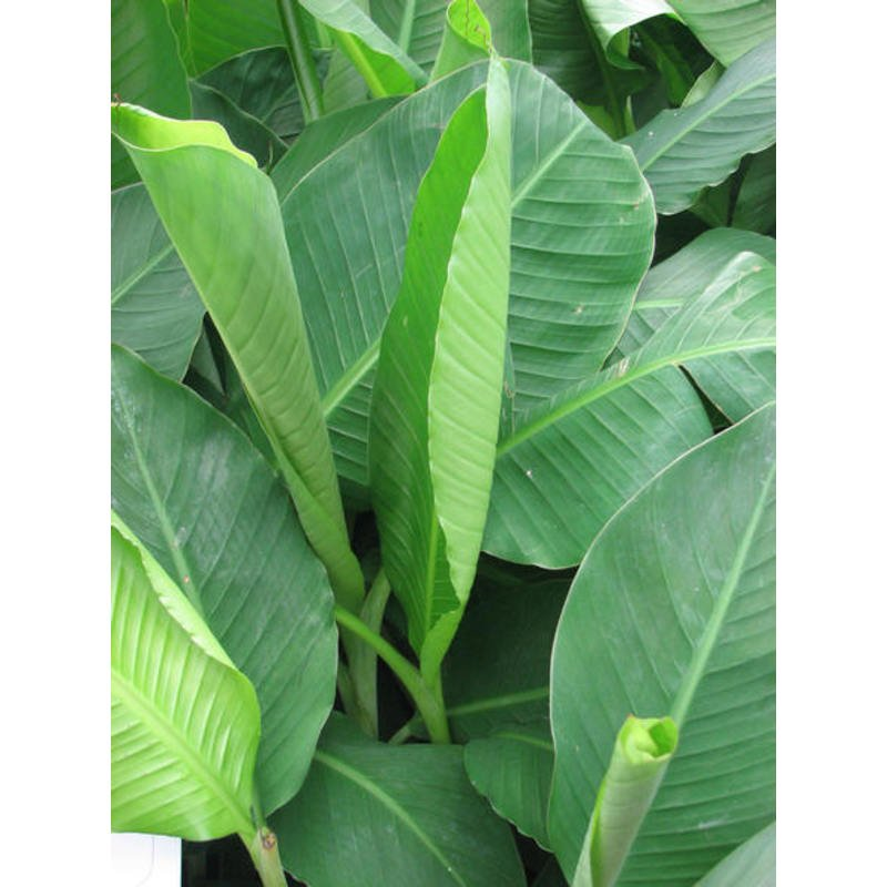 Musa basjoo-Japonais Banana Plant in 9 cm pot